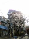 Sakurakozakurabashi2